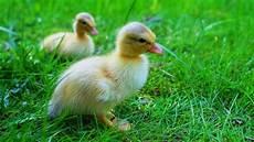 animaux de la ferme les animaux de la ferme le canard