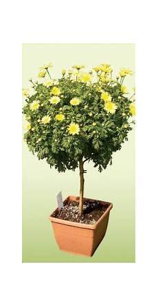 аргирантема цветна градина