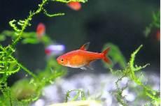 Ikan Hias Kecil Yang Cantik Serta Mudah Dipelihara Inilah