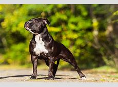 Information About the American Bulldog and American