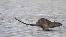 augsburg experte quot es gibt 252 berall ratten und mehr als