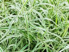 wann gräser schneiden segge schneiden 187 wann wie und wie viel