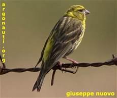 canarini alimentazione pre questo 232 un canarino forum hobby uccelli it