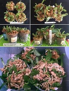 deflasking phalaenopsis seedlings how to time