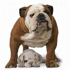 royal canin bulldog royal canin bulldog buy now at zooplus