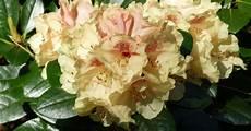 rhododendron durch ableger vermehren pflanzen pflanzen