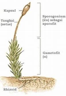 Tumbuhan Tidak Berpembuluh Klasifikasi Lumut Dunia Biologi
