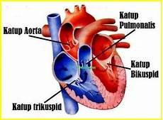 4 Katup Yang Terdapat Dalam Jantung Dan Fungsinya