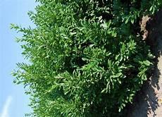 laurier haie pas cher grand laurier novita 175 200 cm vente en ligne arbuste
