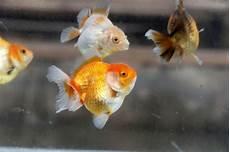 10 Ikan Hias Air Tawar Yang Menarik Bagi Si Kecil Cantik