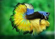 Dunia Ikan Hias Jenis Ikan Hias Air Tawar Aquarium