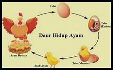 Daur Hidup Ayam Siklus Fase Urutan Cara Berkembang