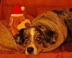 sch 246 nen 3 advent foto bild tiere haustiere hunde