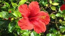 hibiskus richtig schneiden und pflegen hibiskus