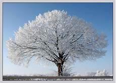 eisbaum foto bild pflanzen pilze flechten pflanzen
