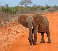 Malvorlage Afrikanischer Elefant Afrikanischer Elefant Foto Bild Archiv Archiv 2007