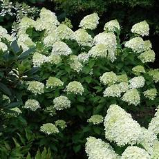 hydrangea paniculata limelight supplied size 3l pot 3