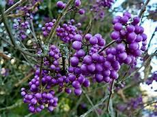 Strauch Mit Lila Beeren - lila beeren foto bild pflanzen pilze flechten