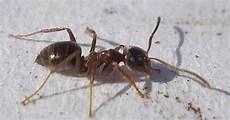 hausmittel gegen ameisen im garten ameisen vertreiben ohne gift 10 nat 252 rliche hausmittel
