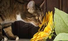 amaryllis giftig für katzen amaryllis giftig katzen gift ftempo