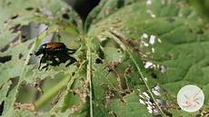 controlling japanese beetles in the garden common garden pests youtube