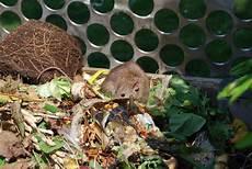 ratten im kompost loswerden 187 so vertreiben sie die