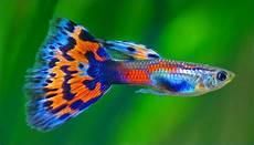 Naila Ikan Hias Guppy