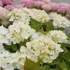 hydrangea macrophylla endless summer 174 the