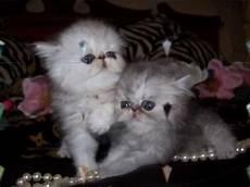 allevamento persiani chinchilla gatti persiani ed esotici chinchilla quot royalcats