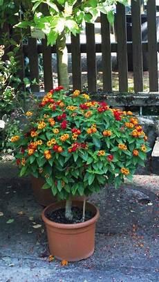 kübelpflanzen winterhart blühend k 252 belpflanzen richtig 252 berwintern winterharte pflanzen