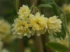 rosier liane sans epine rosier liane bank jaune jardinerie taberner fleurs pr 232 s