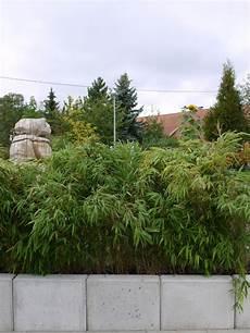 Bambus 12 Meter Hecke Fargesia Rufa Sichtschutz 25