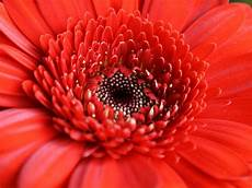 significato dei fiori gerbera scelte per te giardino fiore gerbera
