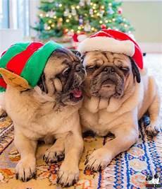 christmas pugs pugs pugs funny pug dog pictures