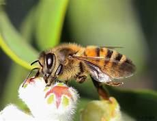 bienen niedrigere klassifizierungen apis mellifera european honey bee busy foraging on the
