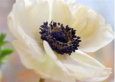 fiore flowers flower homes anemone flowers