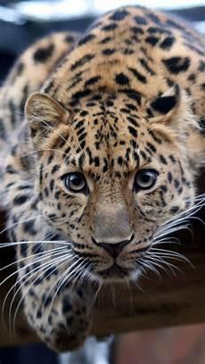 cheetah wallpaper for iphone 42 leopard wallpaper phone on wallpapersafari