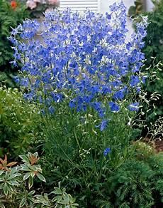 Delphinium Grandiflorum Blue Butterfly Blue