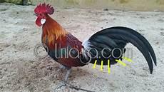 Gambar Ayam Mutiara Kumpulan Gambar Bagus