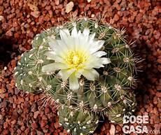 fiori di cactus fiori di cactus cose di casa