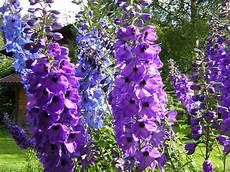 piante di fiori il giardino sfumato spighe di fiori