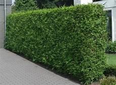 thuja hecke pflanzen thuja brabant hedging plants thuja occidentalis brabant
