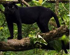 jaguar animal noir panth 232 re animal wikip 233 dia