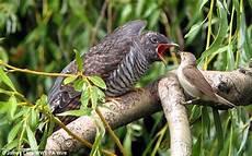 Burung Beri Makan Anak Burung Yang Lebih Besar Darinya