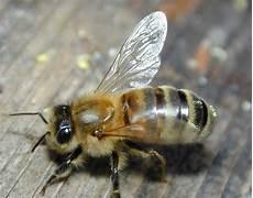 Gambar Binatang Lebah