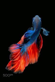 31 Gambar Wallpaper Ikan Hias Richi Wallpaper