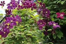 clematis montana schneiden oft clematis bl 252 ten abschneiden vs72 casaramonaacademy