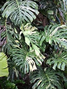 leaf monstera deliciosa crema variegata patioplants