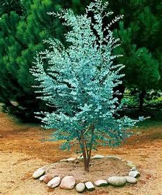 eukalyptus winterhart kaufen eucalyptus product photo survie immergr 252 ner garten