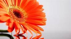Flower Wallpaper Laptop by May Flowers Wallpaper Hd Desktop 66 Images